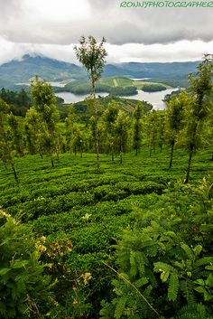 tea plantations, Nigril Hills, Tamil Nadua, India.  Photo: anthony pappone photographer, via Flickr