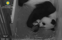 Canada's First Giant Panda Cubs Born at Toronto Zoo : Discovery News