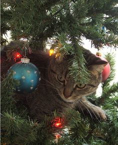 Christmas is a time of cats. OK, that's not strictly accurate, but here's a whole bunch of them acting like it is. Here's wishing a very Merry Christmas to you and to the cats in your life!