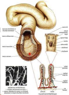 Structura intestinului subțire Lymphatic System, Human Anatomy, Nursing, Notes, Biology, Anatomy, Breastfeeding, Breast Feeding, Nurses