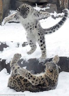 Snow leopard world wrestling federation