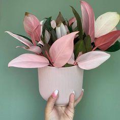 Plant inspiration the controversial but beautiful Philodendron Pink Congo! House Plants Decor, Plant Decor, Garden Plants, Cactus Plants, Foliage Plants, Garden Shrubs, Cactus Decor, Cactus Art, Garden Cactus