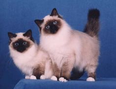 The Traditional Birman was unknown outside of its place of origin at that time…