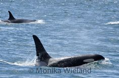 14 yr old J34 Doublestuf. In the background is J16 Slick. Photo by Monika Wieland