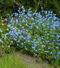 MYASOTIS also known as FORGET-ME-NOT they range in colour from bright blue to pale blue, some tinged with pink, with soft small leaves, and flower in late Spring for about four months Forget-me-nots are about 6 – 8 inches high and quite bushy. They seed Shade Tolerant Plants, Shade Garden Plants, Garden Shrubs, Lawn And Garden, Flowering Plants, Spring Garden, Outdoor Plants, Outdoor Gardens, Shade Flowers