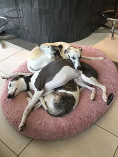 another Whippet pile