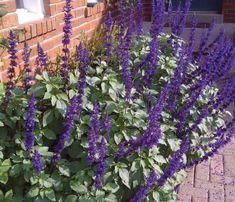 Salvia 'Mystic Spires' | Lambley Nursery
