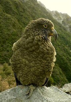 This website contains some beautiful pictures of the Kea.