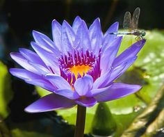 Dragonfly And Water Lily, Duncan McKinnon Water Lilies Painting, Lily Painting, Lotus Painting, Pink Lotus, Lotus Flower, Exotic Flowers, Beautiful Flowers, Pond Life, Dragonfly Art