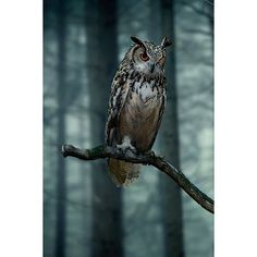 Who's Whoo ❤ liked on Polyvore featuring backgrounds