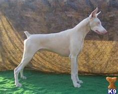 white doberman pinscher - Google Search