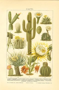 1906 Breeds Of Cacti Original Antique Colour Print. Ideal For Framing