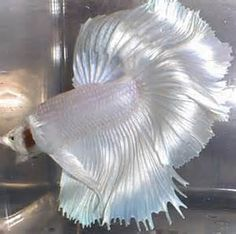 Some interesting betta fish facts. Betta fish are small fresh water fish that are part of the Osphronemidae family. Betta fish come in about 65 species too! Pretty Fish, Beautiful Fish, Animals Beautiful, Beautiful Pictures, Colorful Fish, Tropical Fish, Freshwater Aquarium, Aquarium Fish, Betta Fish Types