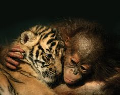Orangutan Baby and Tiger Cub