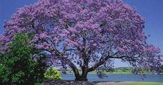 El Kiri es un árbol que puede crecer en suelos infértiles y purifica el aire 10 veces más que otros, pero no se planta tanto como se podría.