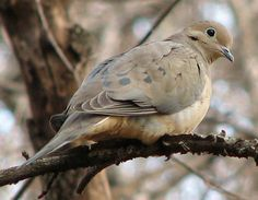 Mourning dove.... A friend has one nesting in her awning and no matter where I go in North America their voices tell me I am home.