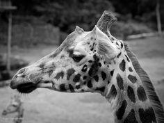 Giraf moeder