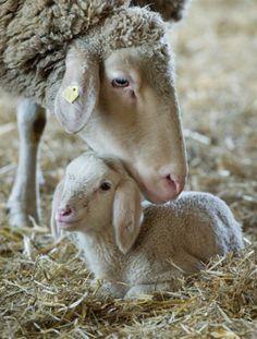 Mamãe ovelha e seu filhote