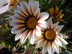 Ancora il fiore striato