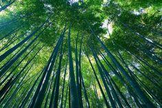 Sagano bamboo forest in Arashimaya, Japan. Photo: Casey Yee/Wikimedia Commons