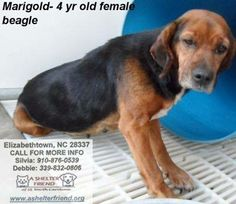 Rosie and marigold are bonded gals. hey are depending n each other for security and comfort. Rosie and Marigold are is much older than 4Please CALL to save a life! Silvia: 910-876-0539 Debbie: 339-832-0806 — at Elizabethtown NC.
