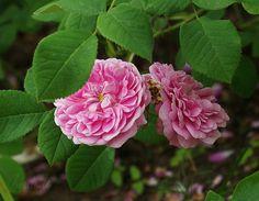 'Petite Lisette' (1817) Alba rose