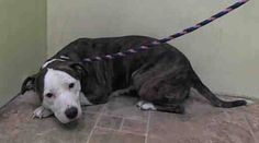 SAFE - 02/13/15 by Glen Wild Animal Rescue --- Manhattan Center   AQUAGIRL - A1027122   FEMALE, BR BRINDLE / WHITE, PIT BULL MIX, 4 yrs STRAY - ONHOLDHERE, HOLD FOR EVICTION Reason OWN EVICT  Intake condition UNSPECIFIE Intake Date 02/04/2015 https://www.facebook.com/Urgentdeathrowdogs/photos/pb.152876678058553.-2207520000.1423260098./957349440944602/?type=3&theater