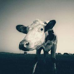 Kravička 😀   #cow #cows #krava #animal #farming #farmanimals #insta_svk