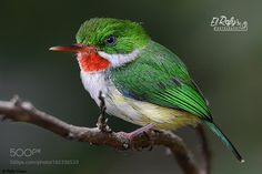 Puerto Rican Tody  Name in Spanish: San Pedrito Scientific name:Todus mexicanus Taxonomic... by elrafy0599 via http://ift.tt/29r5ihR