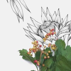 King Protea illustration by Typoflora King Protea, Bloom Blossom, Nativity, Art Ideas, Berries, Greeting Cards, Paintings, Illustrations, Amazing