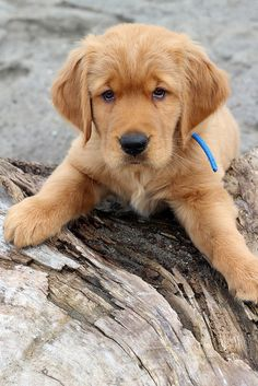 I'm cute! Golden Retriever puppy.