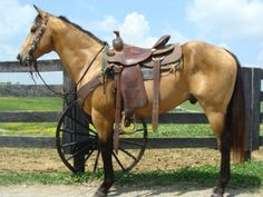 In the future my next horse will be like this one... The quarter - buckskin