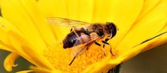 i-rena: ...είδα κάποτε μια μέλισσα πνιγμένη μέσα...