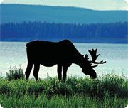 Fast Facts: MooseScientific Name: Alces alces Average weight: Female: 350 kgMale: 400 kgAverage length: to expectancy: average 8 to 12 yearsDid you know?The moose is a powerful swimmer within days of birth. Bull Moose, Moose Art, Moose Animal, Canada Country, Slider Images, Deer Family, Northwest Territories, Inspiration For Kids, Color Inspiration