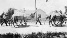 These camels were part of the Ringling Bros. and Barnum & Bailey Circus that came to Cheyenne in about 1933. The circus train was unloaded at the Union Pacific yards and the animals were walked 2 miles up Snyder Avenue to Frontier Park where the circus tent was set up. Photo from the Wyoming State Archives.
