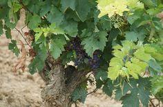 A partir del Envero las uvas aumentan su tamaño y niveles de azúcar