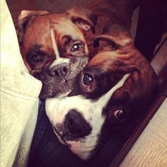 Double trouble, but double the love too. OMG I need another boxer for Georgia to cuddle with. #boxerpuppy #BoxerDog