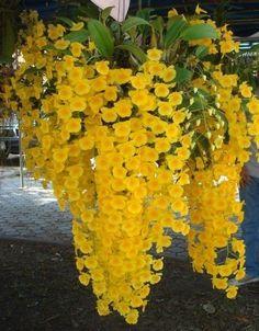 Orquidea Dendrobium Lindleyi - Jardim Exótico - O maior portal de mudas do Brasil.