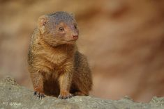 posted a photo: Common dwarf mongoose / Dwergmangoost Mongoose, Dwarf, Ferret, Animals, Animales, Animaux, Ferrets, Animal, Animais
