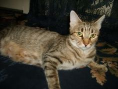 A beautiful Ocicat.  They call it a ocicat because it resemble the Ocelot cat.  The Incensewoman