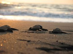 Velas Famous For The Olive Ridley Turtle Population  >>  #TurtleFestivalTour
