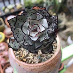 Echeveria strictiflora v. nova