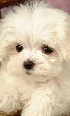 Can& believe how cute! Just look at those long white eyelashes! Cute Dogs And Puppies, I Love Dogs, Pet Dogs, Dog Cat, Doggies, Maltese Poodle, Maltese Dogs, Cute Funny Animals, Cute Baby Animals