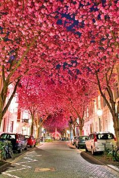 Cherry Blossoms, Bonn, Germany
