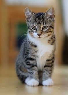 What kind of cat is a tabby? 30 Tabby Cat Photos - Kittens - Ideas of Kittens - What kind of cat is a tabby? 30 Tabby Cat Photos The post What kind of cat is a tabby? 30 Tabby Cat Photos appeared first on Cat Gig. Cute Cats And Kittens, I Love Cats, Crazy Cats, Cool Cats, Kittens Cutest, Funny Kittens, Pretty Cats, Beautiful Cats, Animals Beautiful