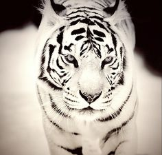White Tiger... Just stunning!!!!