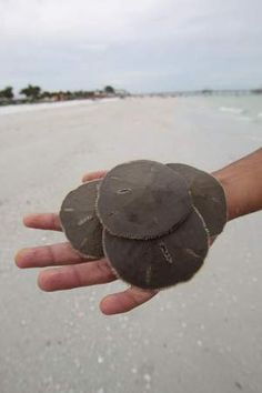 You never know what you will find when you head out to the beaches of Southwest Florida. Quite literally under your feet you can find creatures that are sure to amaze and delight even the most blase of visitors. www.accord-realestate.com