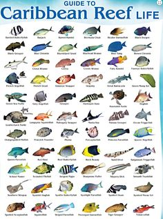 This is a Coral Reef Fish Species Chart so you know what Cancun Fish Species you can find while diving in our beautiful reefs, not only in Cancun, but in the Riviera Maya as well (Besides Diving with Sharks, Bull Sharks! Reef Aquarium, Saltwater Aquarium, Marine Aquarium, Freshwater Aquarium, Riviera Maya, Cancun Diving, Padi Diving, Cozumel, Scuba Diving Gear