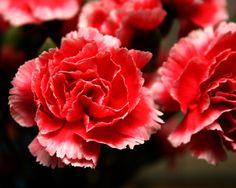 Flores disponibles durante todo el año para tu boda: Clavel