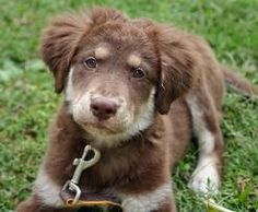 australian shepherd puppy.  I love puppies that look old, they're so funny!